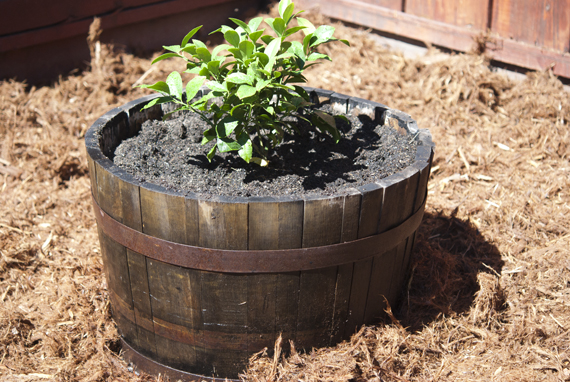 ... Garden Design With How To Fix Loose Rings On An Old Wine Barrel Planter  With Shade