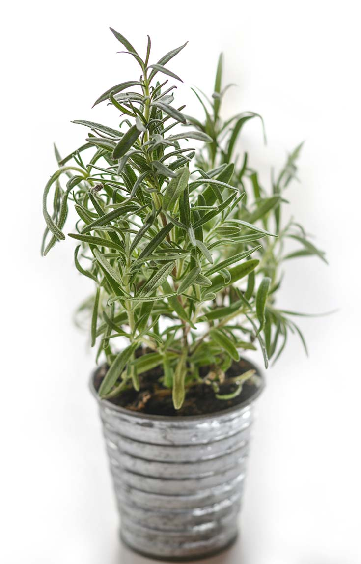 A single rosemary plant sits potted in a metal tin in this guide to How To Grow Rosemary